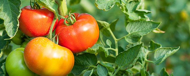 lawngarden-slider-tomatoes